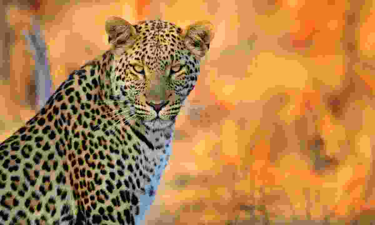 Leopard in Hwange National Park (Dreamstime)