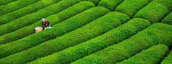 A Rize tea plantation (Shutterstock)