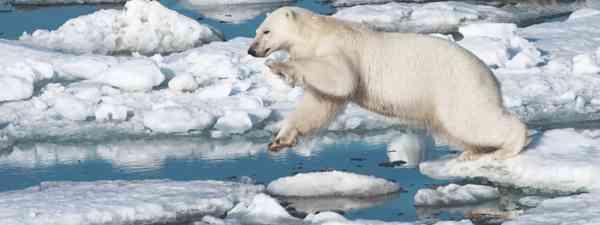 The polar bear, a local resident of Wrangel Island (Mark Carwardine)