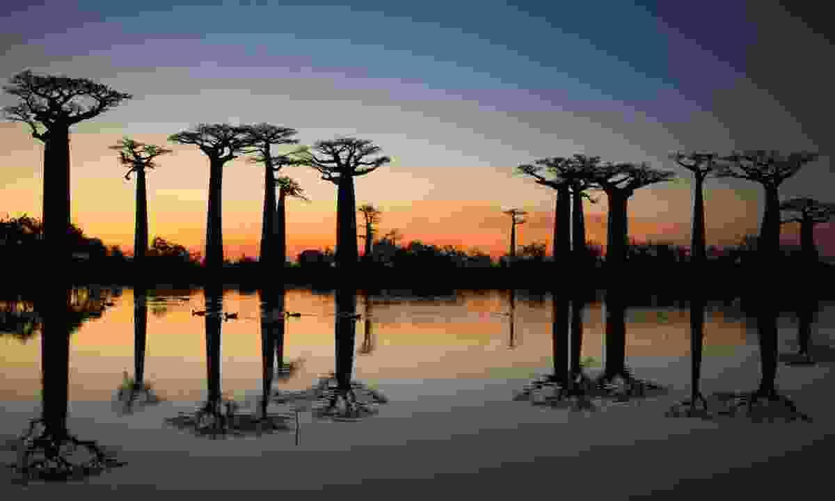 Baobabs, Madagascar (Dreamstime)