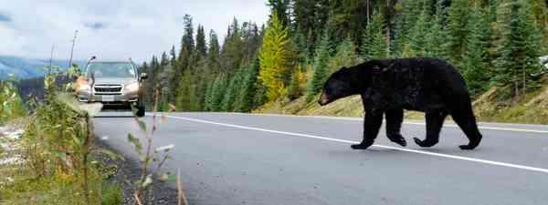 A black bear surprises a driver (Shutterstock)