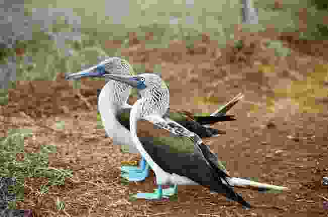 Blue footed boobies on the Galapagos (Dreamstime)