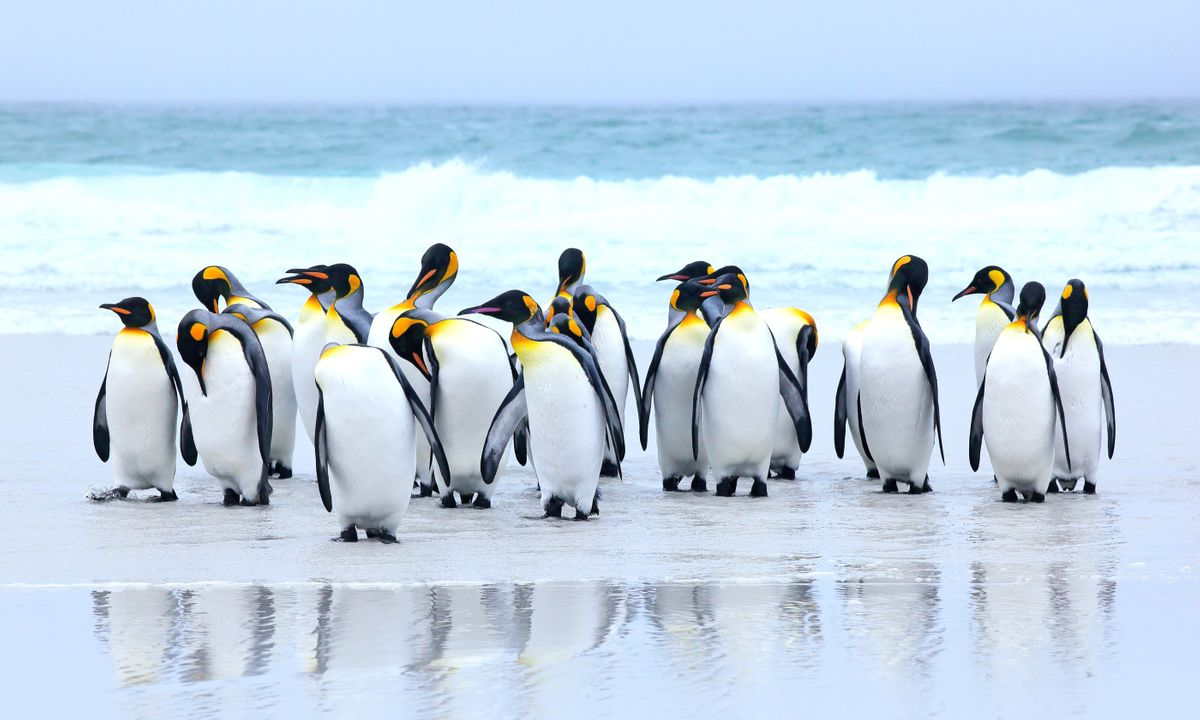 King penguins on the beach, Falkland Islands (Dreamstime)