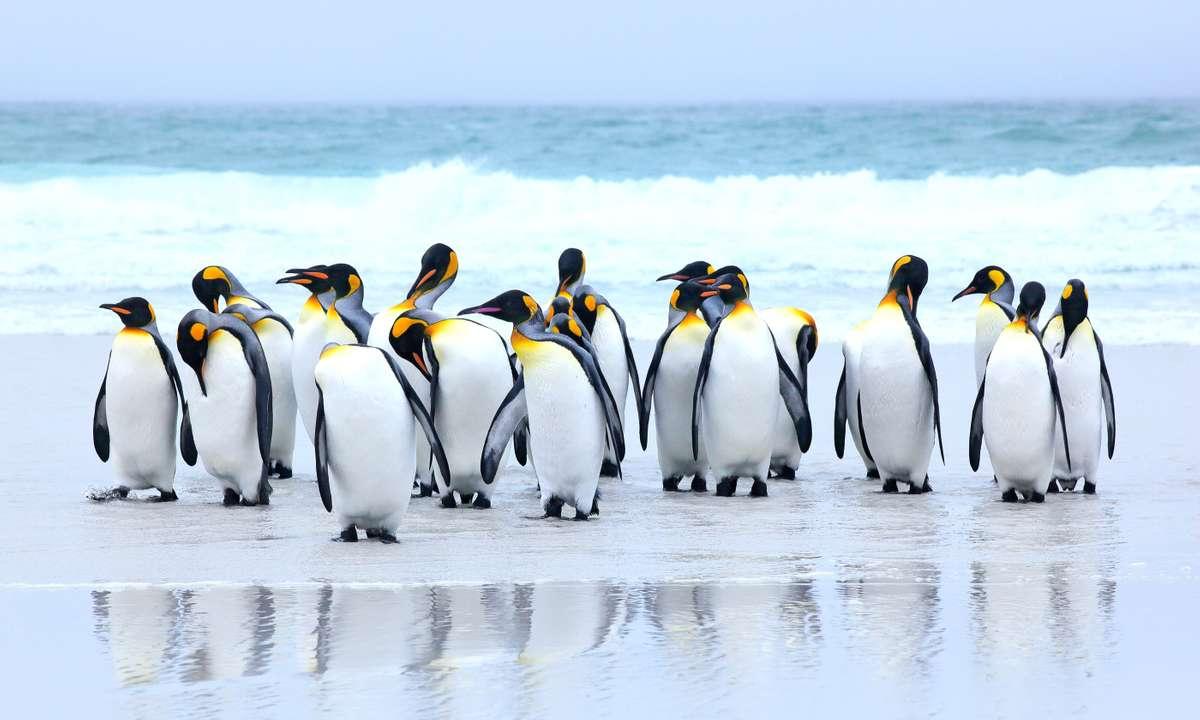 King penguins on the beach, Falkland Islands (Dreamstime)