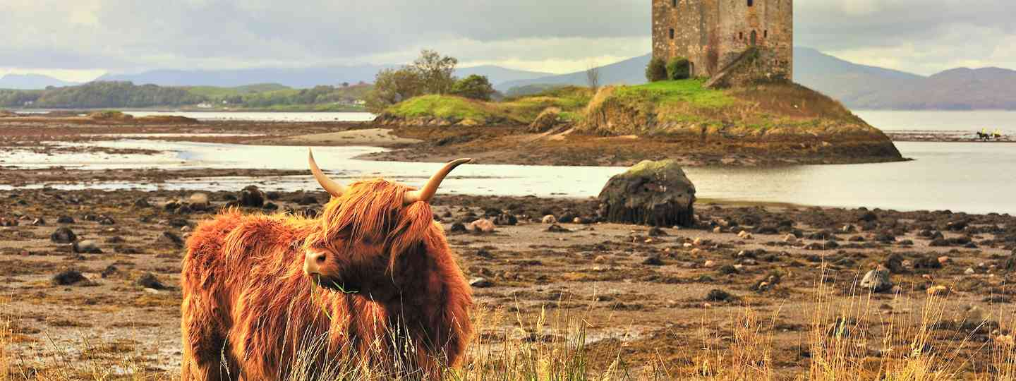 A highland cow grazing beside Lloch Linnhe (Dreamstime)