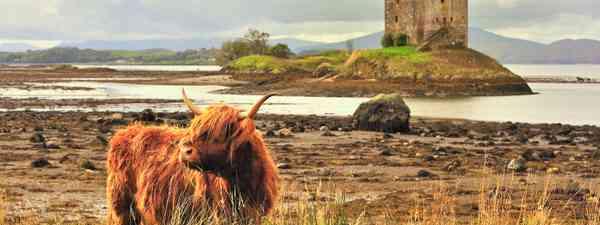 A highland cow grazing beside Loch Linnhe (Dreamstime)