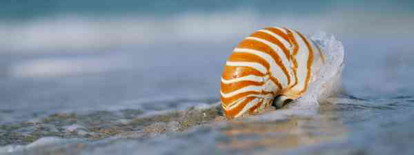 A Nautilus shell on a beach in Florida (Dreamstime)