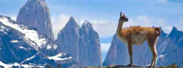 A guanaco in Torres del Paine National Park (Dreamstime)