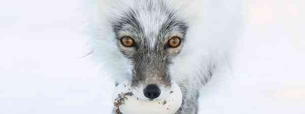 An Arctic fox with a goose egg (Sergey Gorshkov)