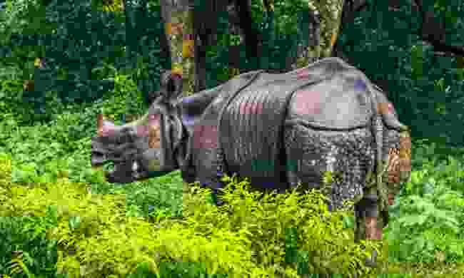 A greater one-horned rhinoceros in Chitwan National Park (Shutterstock)