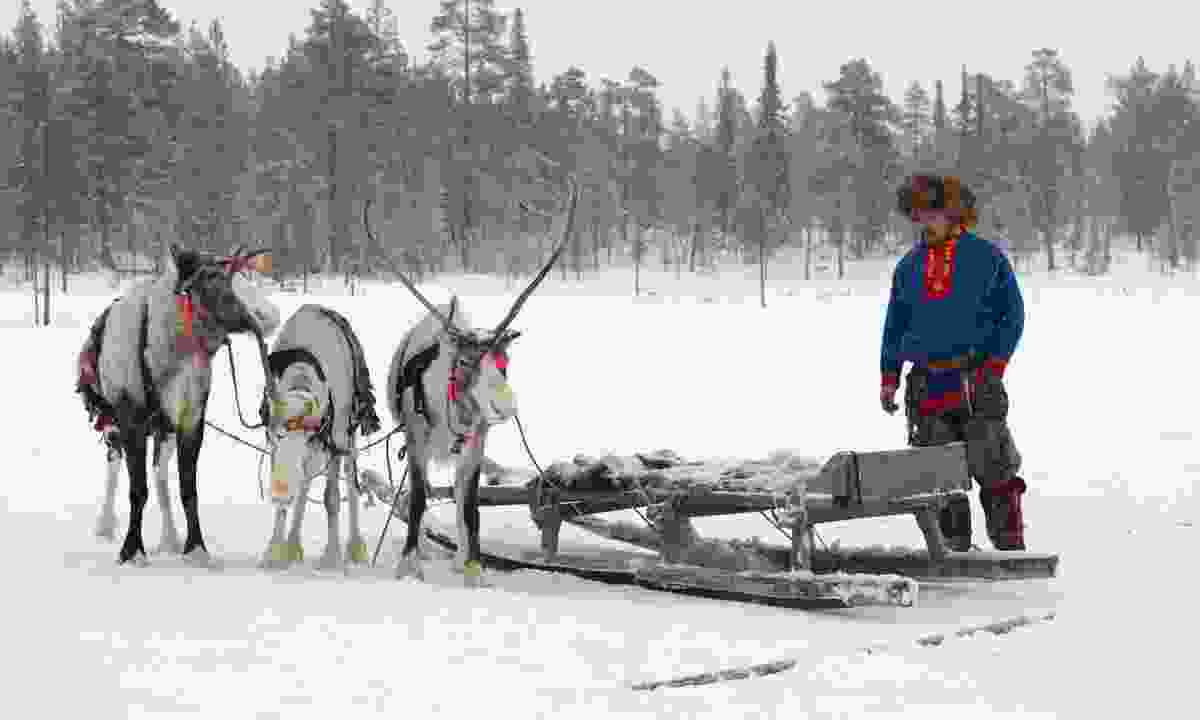 Reindeer and a member of the Sami community (Dreamstime)