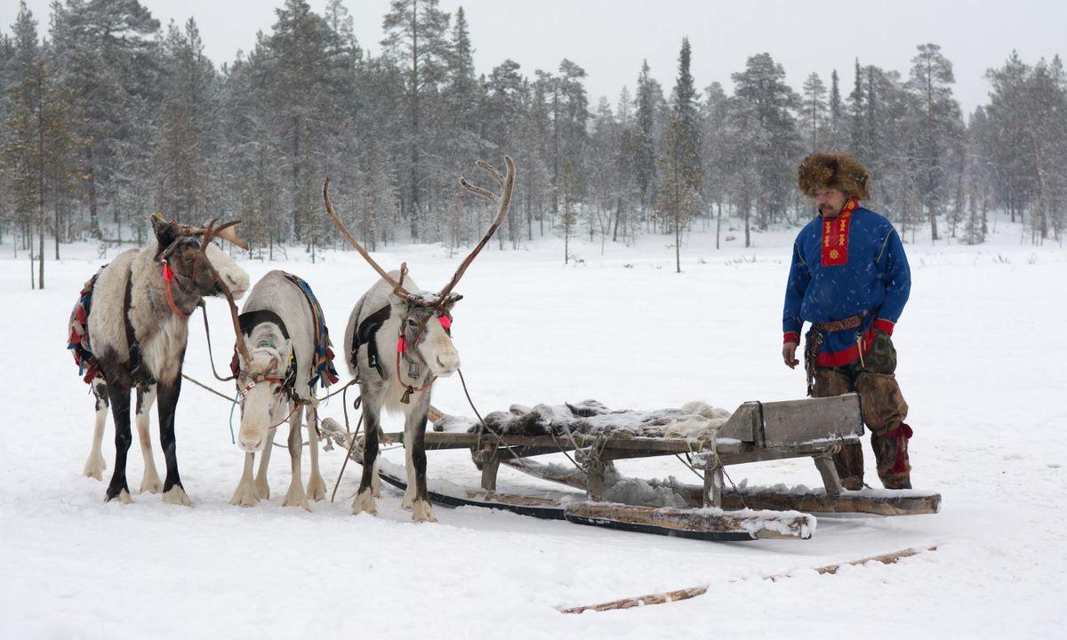 Renna e membro della comunità Sami (Dreamstime)