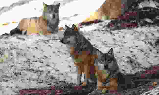 A pack of wolves gather (Dreamstime)