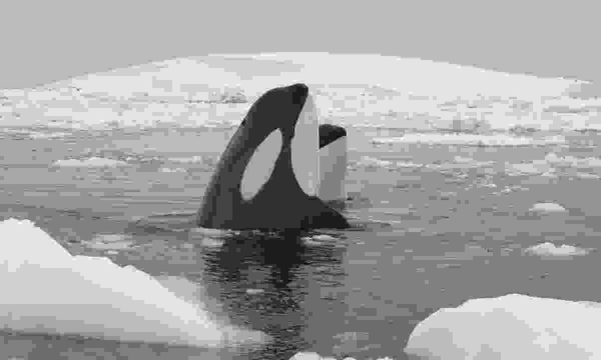 Orcas in Antarctica (Dreamstime)