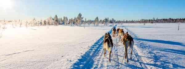Husky sledding in Finland  (Dreamstime)