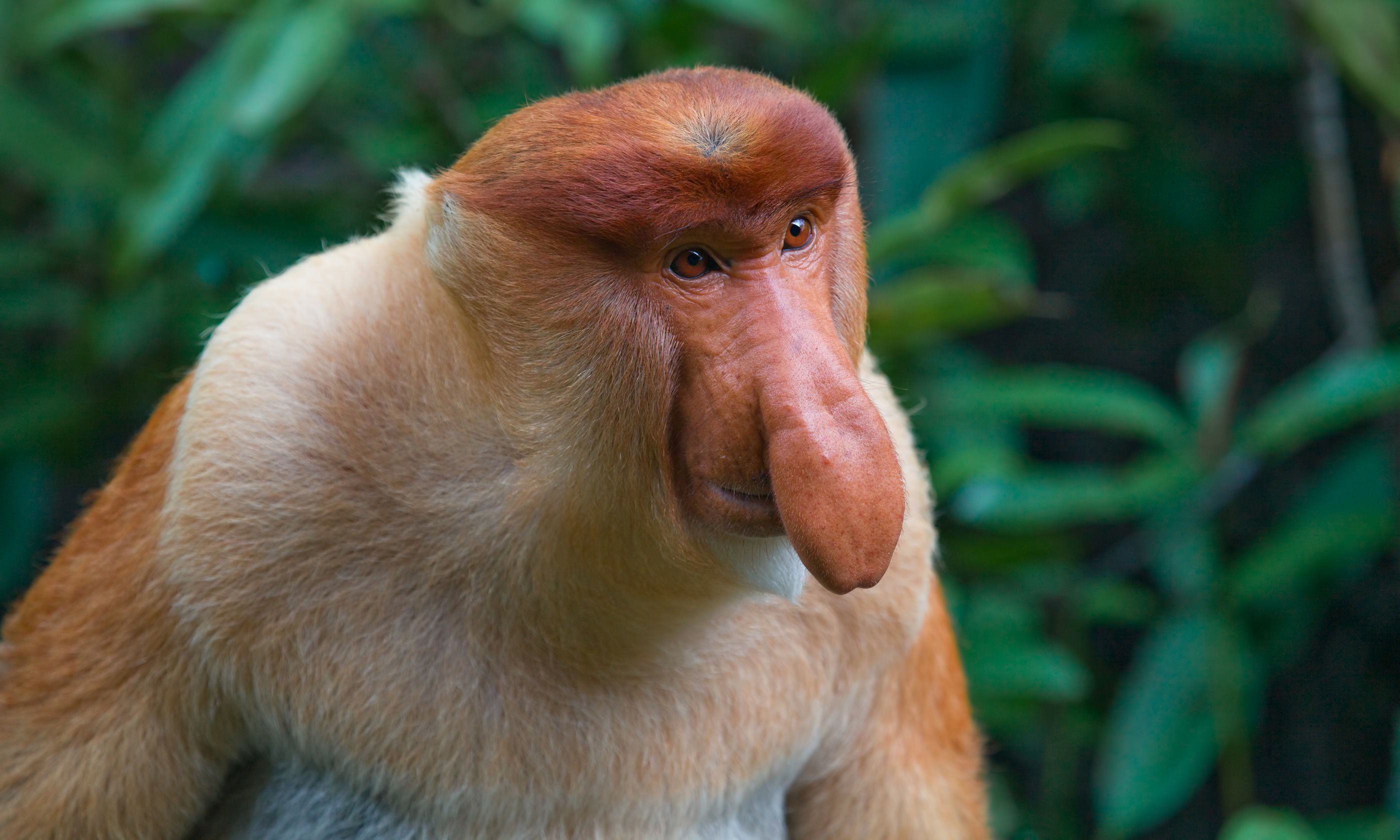 A proboscis monkey in Borneo (Dreamstime)