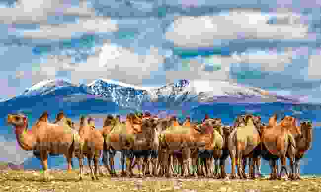 A Bactrian camel herd near Delüün, with Ikh Yamaat Mountain behind (Marcus Westberg)