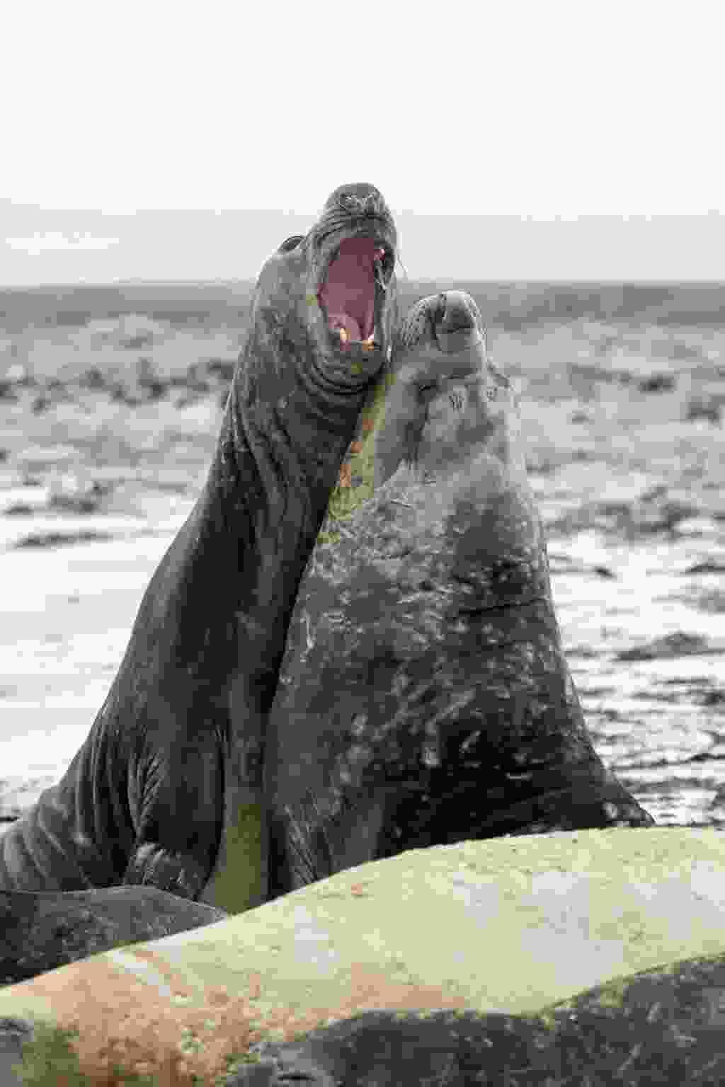 Two male southern elephant seals, Sea Lion Island, Falkland Islands (Shutterstock)