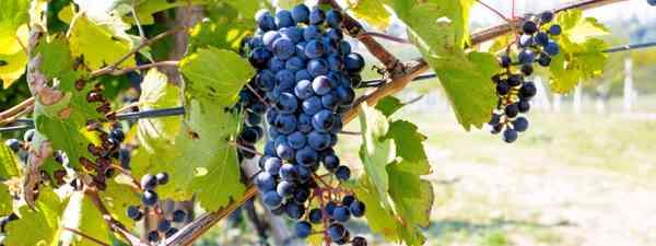 Serbian food should accompany Serbian wine (Shutterstock)