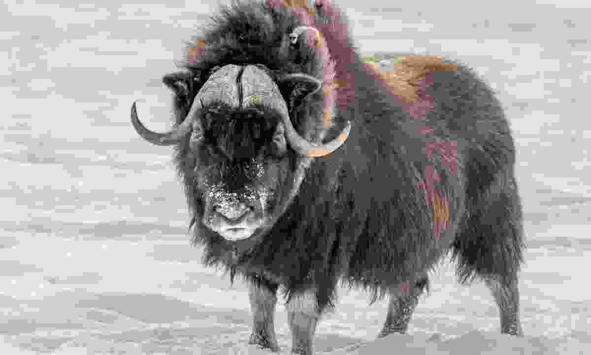 A muskox in the snow (Shutterstock)