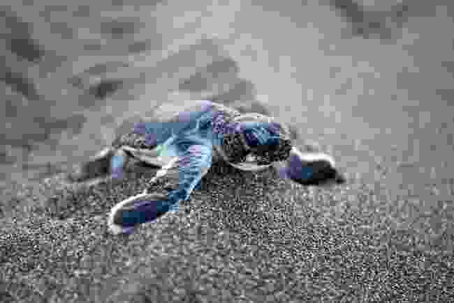 Baby turtle (Shutterstock)