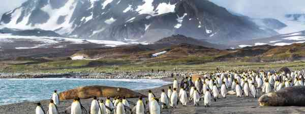 Thousands of king penguins run from Katabatic winds in St. Andrews Bay (Shutterstock)