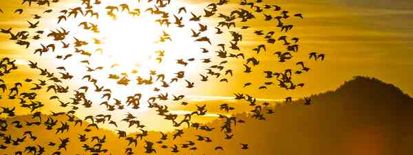 Western Sandpipers flying in front of the sun (Shutterstock)