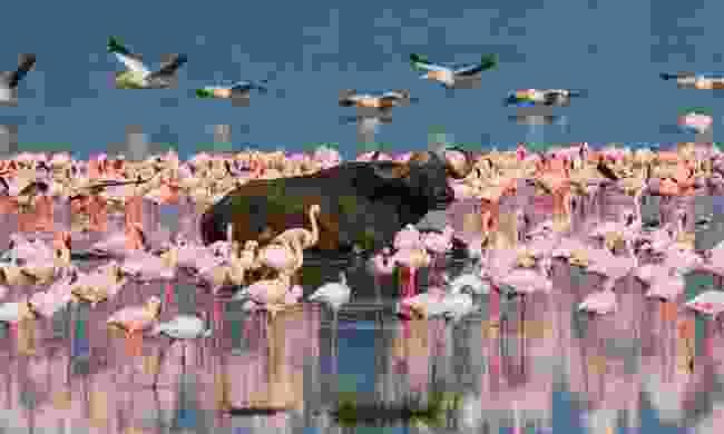 See flamingos on Lake Bogoria (Shutterstock)