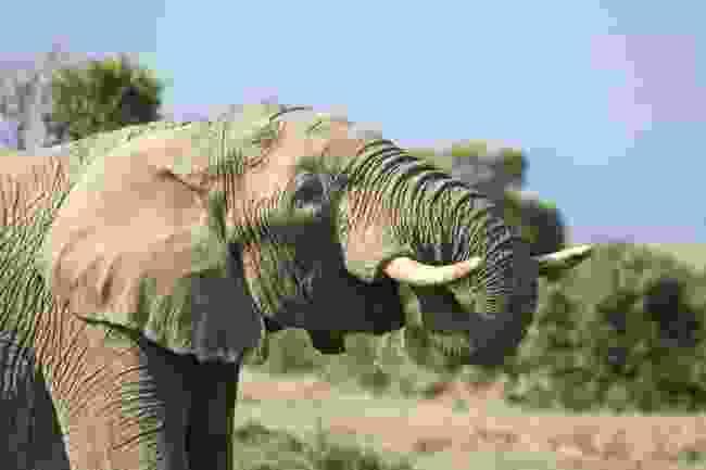 An African elephant drinking water. Ol Pejeta Conservancy, Kenya. (Shutterstock)