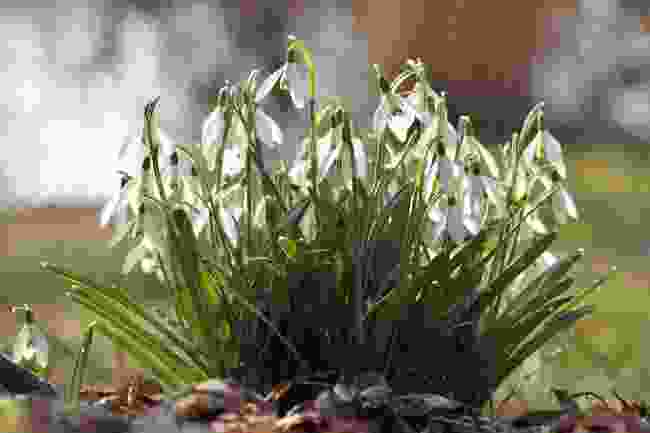 A close up of snowdrops (Pixabay)