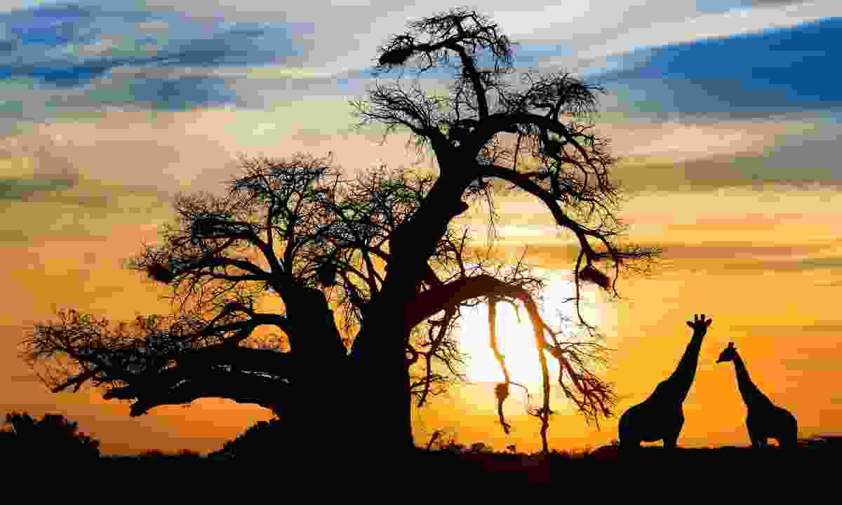 Baobab sunset, with giraffes (Dreamstime)