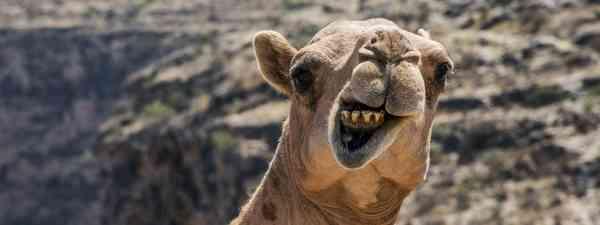 Alice the camel (Shutterstock)