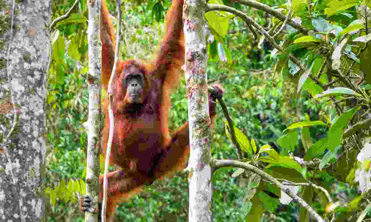 Female orangutan at the Semenggoh Nature Reserve (Dreamstime)