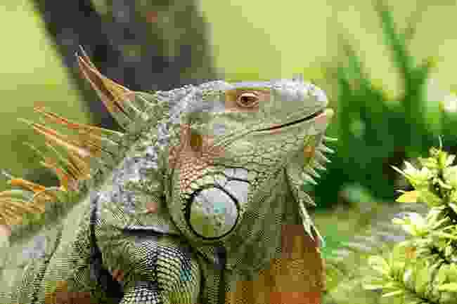 A green iguana (Shutterstock)