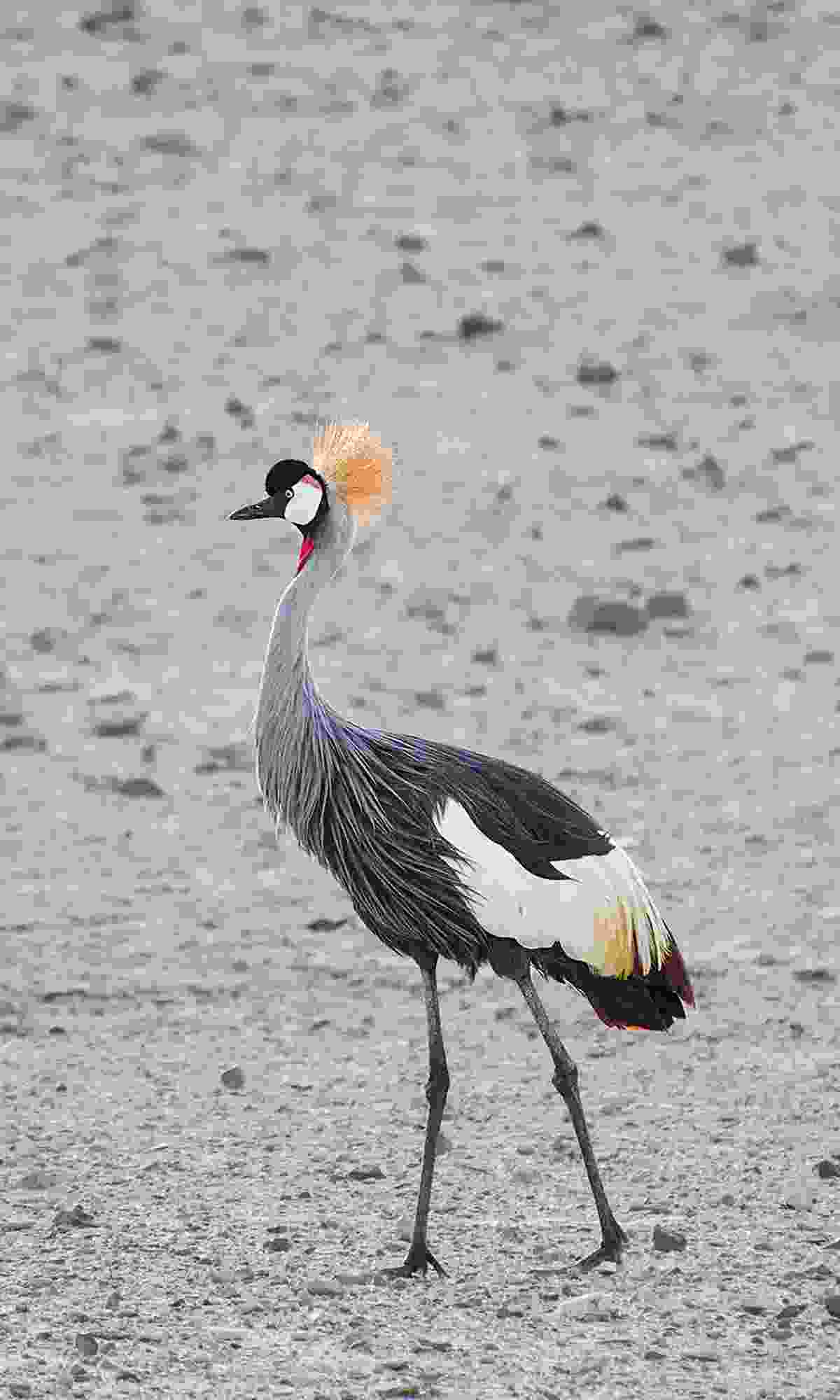 One of three pairs of grey-crowned cranes on the island (endangered in their native Africa) (Phoebe Smith)