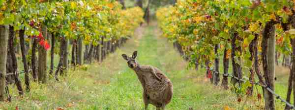 Kangaroo in a vineyard (SATC)
