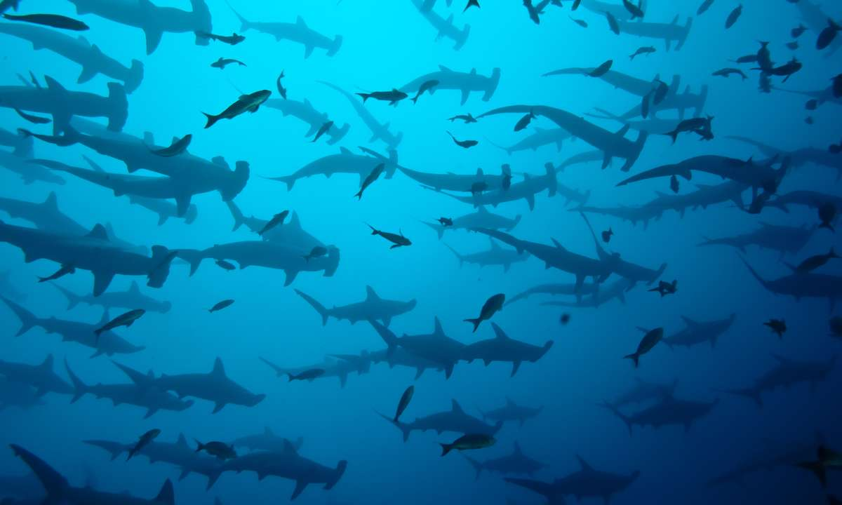 Hammerhead sharks (Dreamstime)