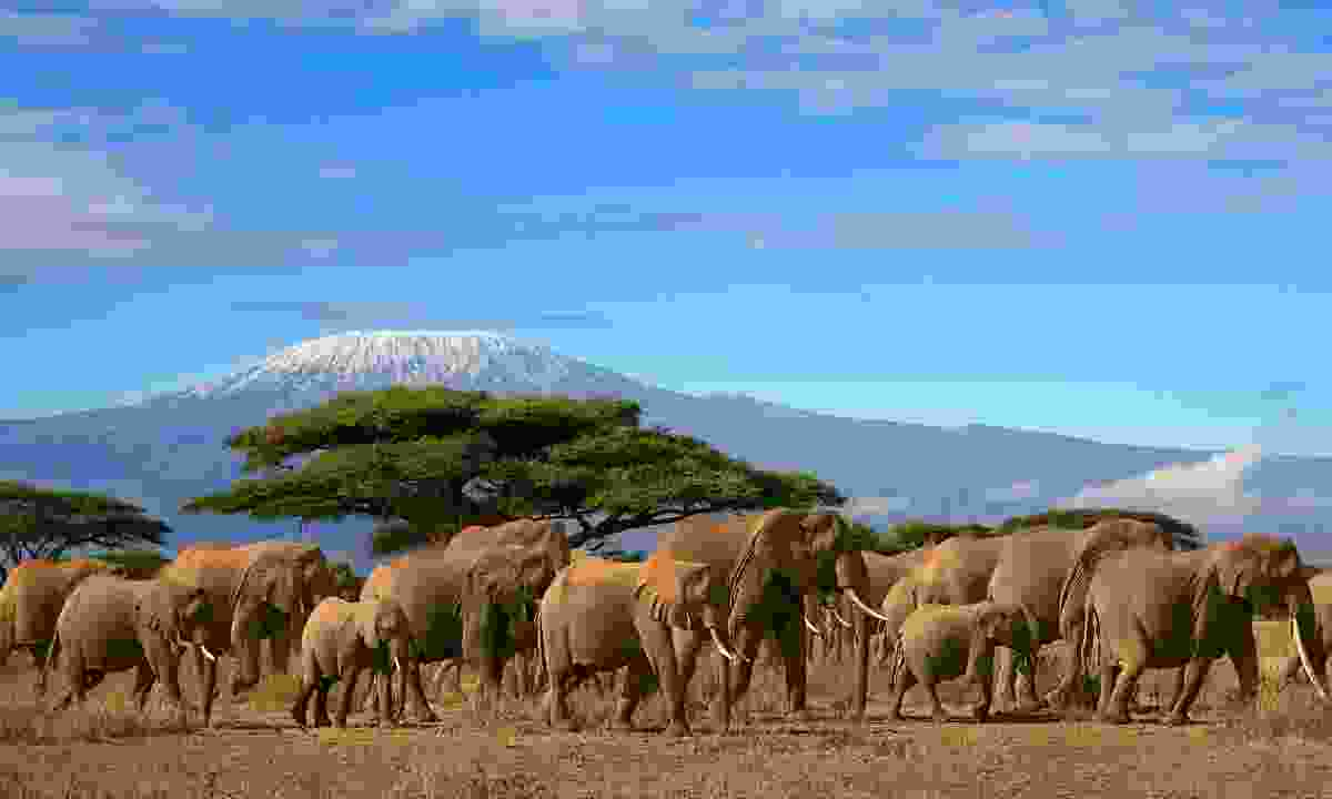 Herd of elephants near Mt. Kilimanjaro (Dreamstime)
