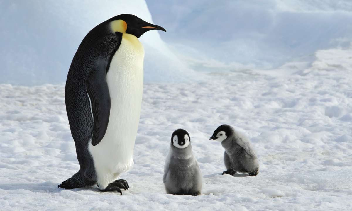 Emperor Penguin with chicks on Snow Hill Island (Dreamstime)