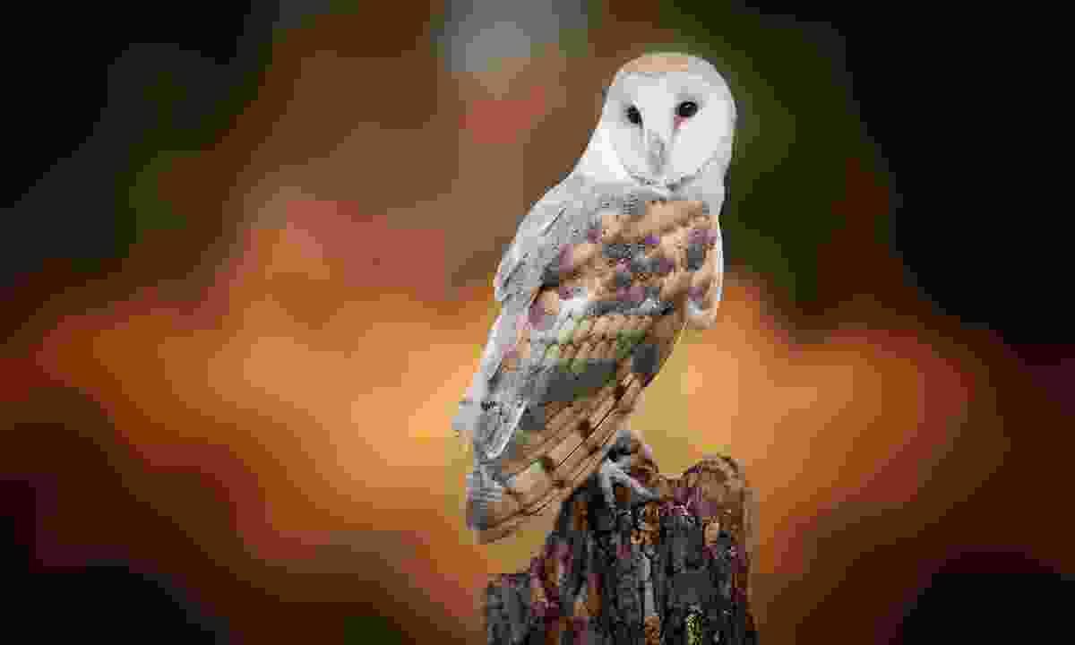 Barn owl (Dreamstime)