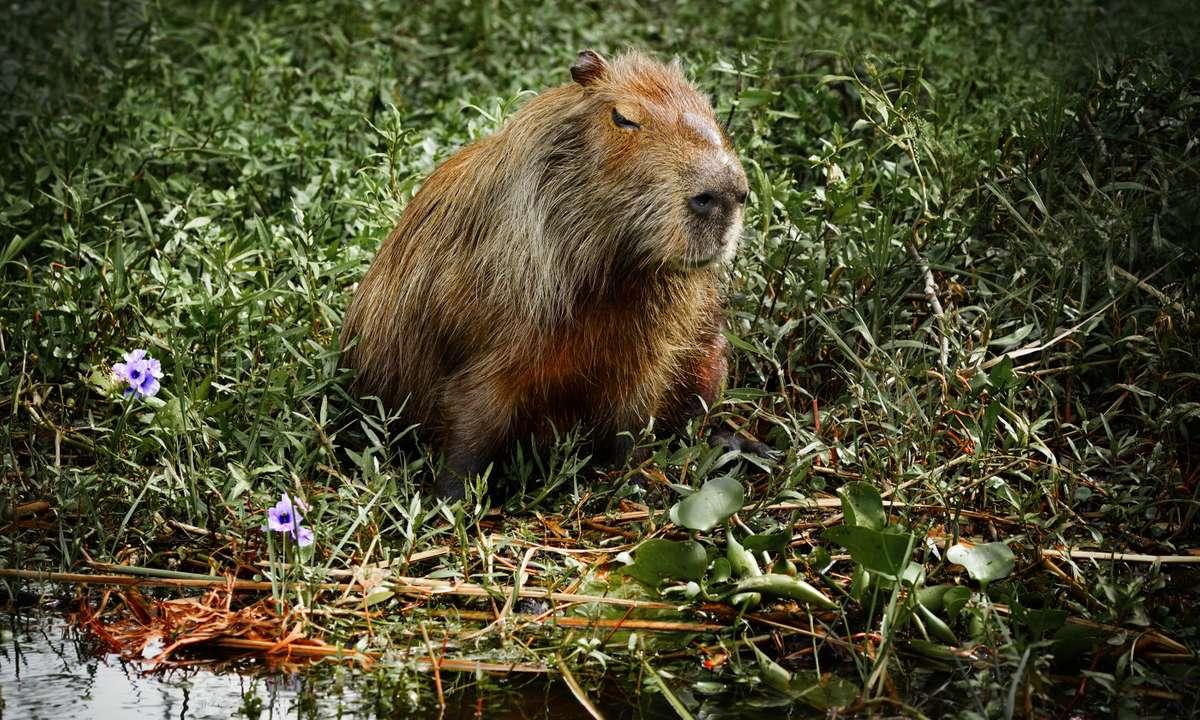 A capybara in the Iberá wetlands (Dreamstime)