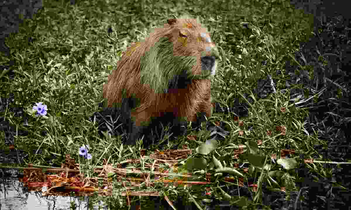 A capybara in the Iberá wetlands (Dreamstime)