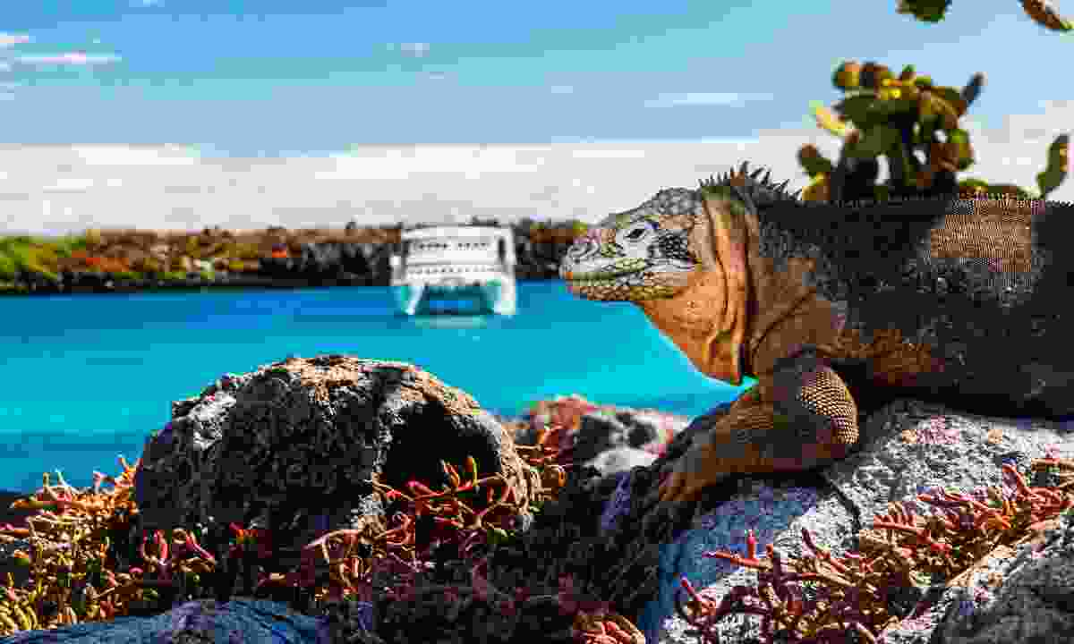 Land iguana on South Plaza Island (Shutterstock)
