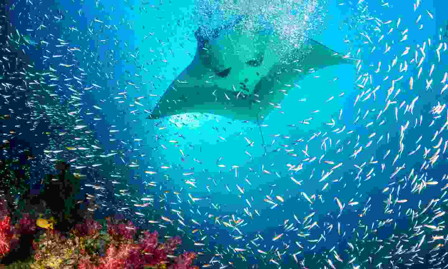 A manta ray swimming over a colourful coral reef in the Maldives (Shutterstock)