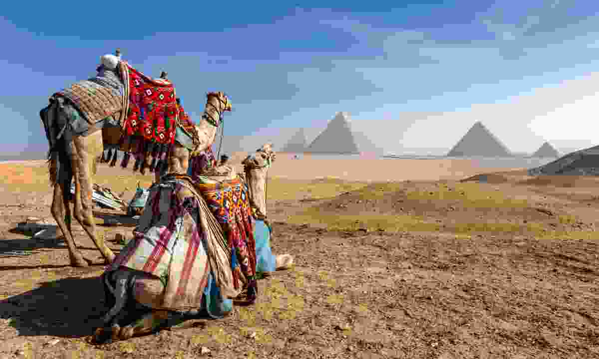 Camels looking towards the Pyramids of Giza (Shutterstock)