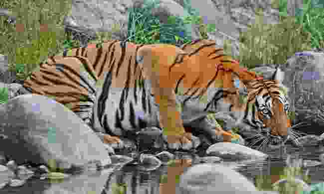 A Bengal tiger drinking at a stream in Nepal (Shutterstock)