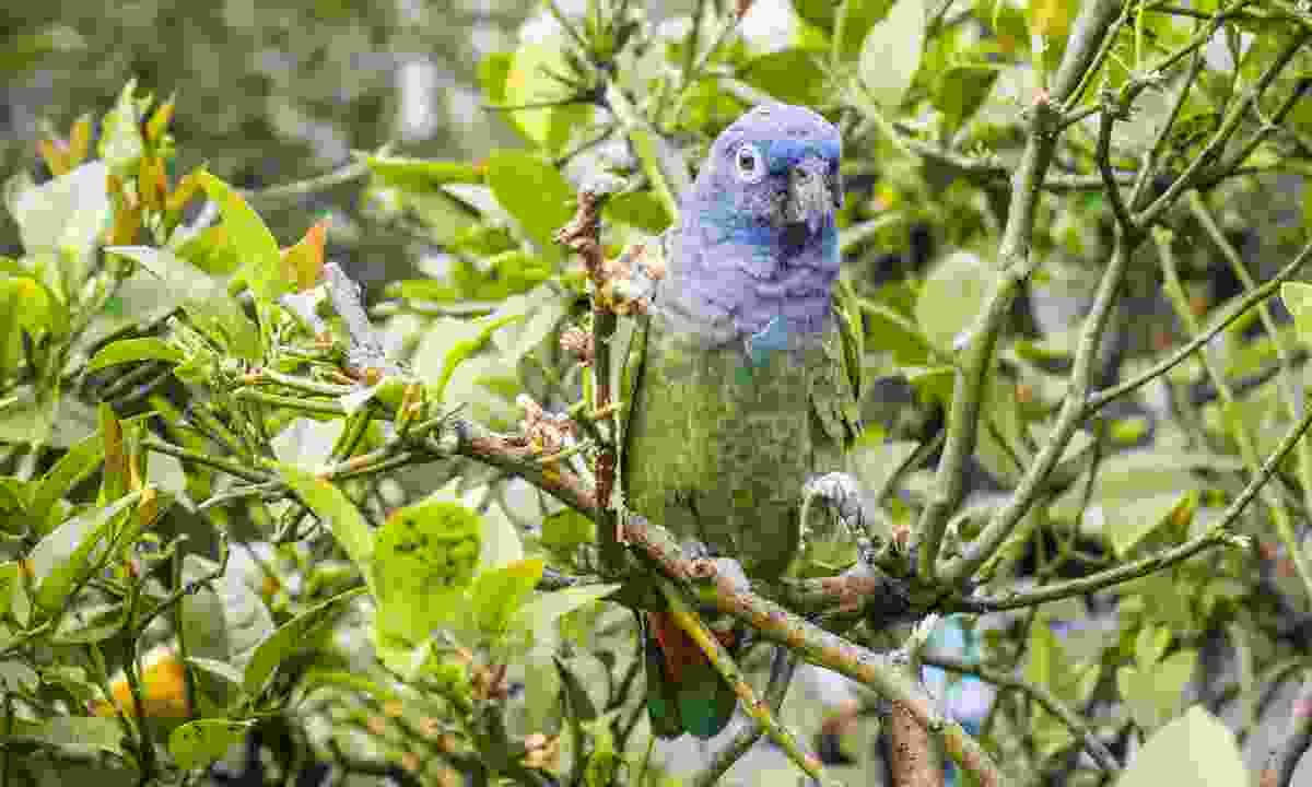 A blue-headed parrot in Suriname (Dreamstime)