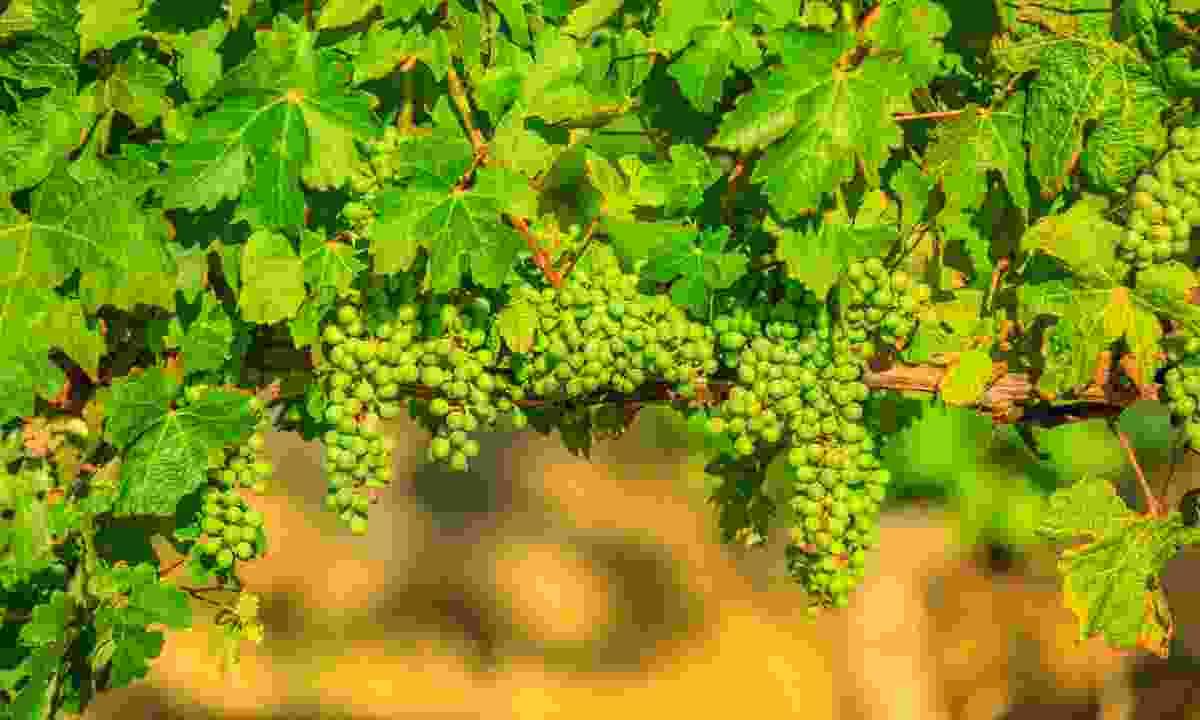 White wine grapes grow in Margaret River region, Australia (Dreamstime)