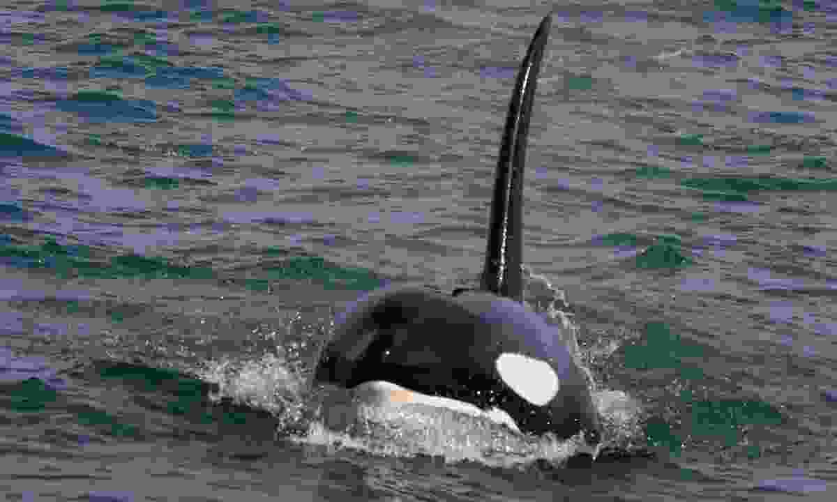 Spot orcas off the coast of Iceland (Dreamstime)
