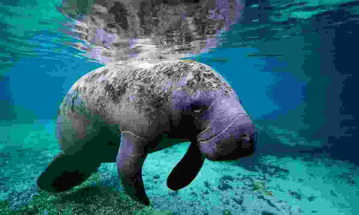 Look out for friendly manatee